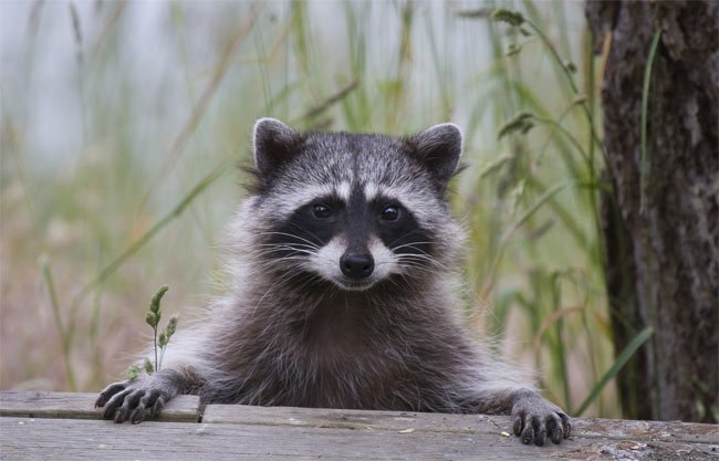 Cute Raccoon Looking at Us
